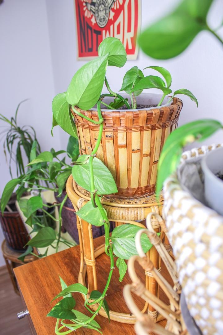 DIY eigene Ableger des Goldenen Pothos (Efeutute)machen