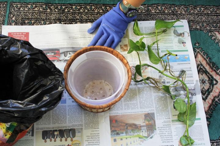 Efeutute Golden Pothos vermehren Ableger (12)