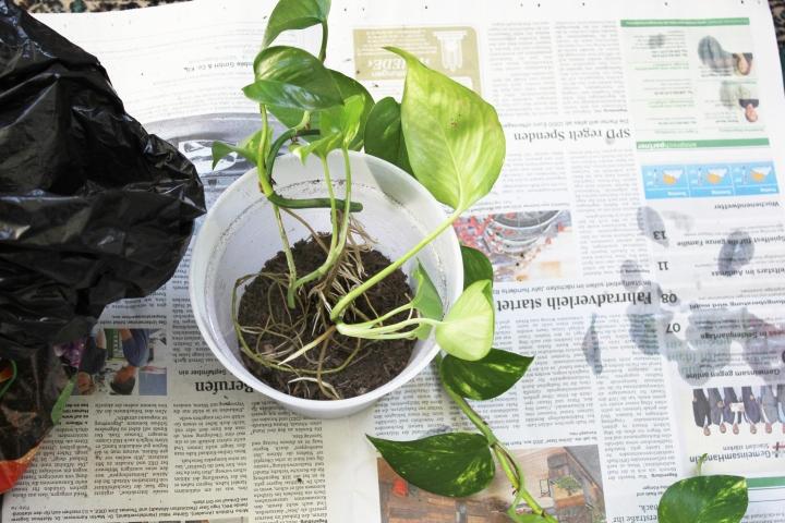 Efeutute Golden Pothos vermehren Ableger (17)