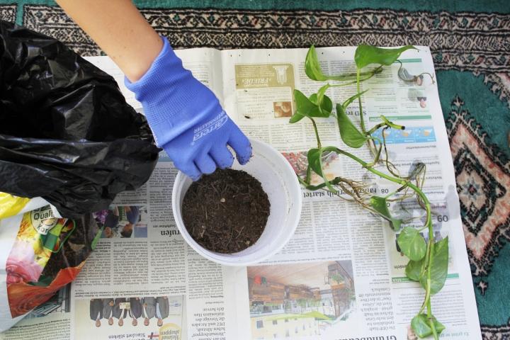 Efeutute Golden Pothos vermehren Ableger (18)